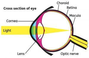 Cross section of eye